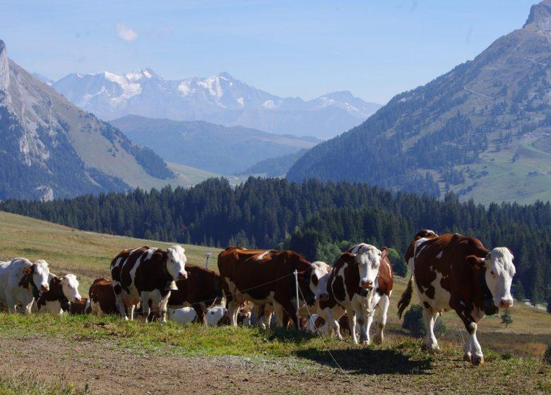 Retour des vaches