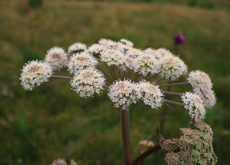 Plante médicinales au Plateau de Beauregard